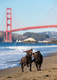 Two Chocolate Brown Labradors Running on Beach with Stick