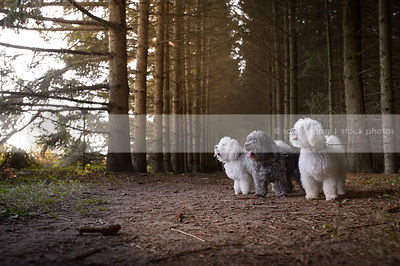 three little fluffy dogs standing in pine forest