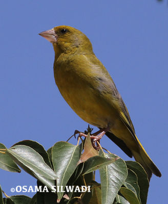 Greenfinch photos