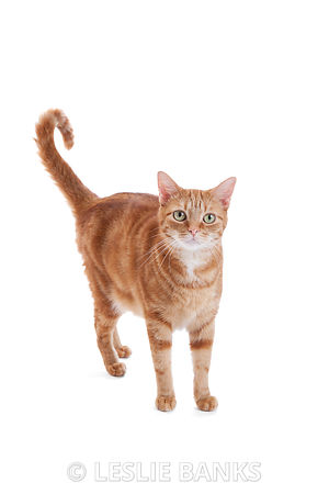 Orange Swirl Tabby Cat
