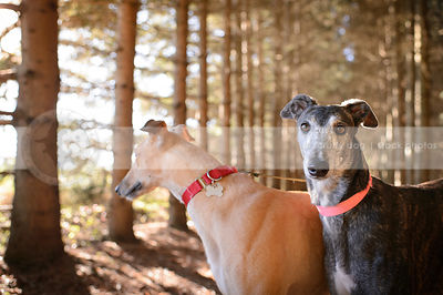 two alert dogs staring in forest with sparkly background