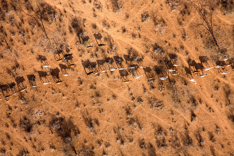 Samburu livestock illegally entering Samburu National Park searching for food and water. The worst drought (2008-2009) in more than a decade has killed most of the Samburu tribemans' livestock and threatens their own survival. August 2009.