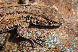 Side-blotched Lizard on Santa Cruz Island in the Channel Islands