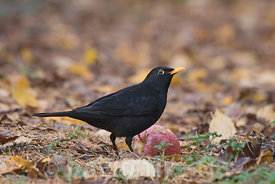 Blackbird Turdus merula male feeding on fallen apples Norfolk November