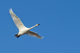 February - Trumpeter Swan