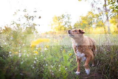 red and white dog standing in summer meadow