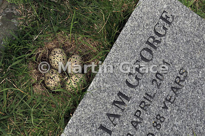 Eurasian Oystercatcher (Haematopus ostralegus) nest in burial ground at Sandvoe, Northmavine, Shetland