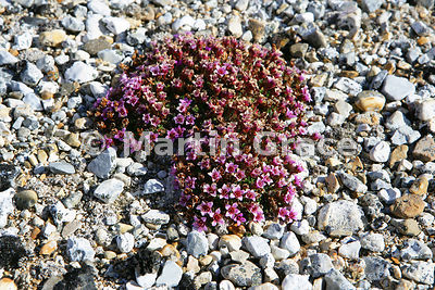 Purple Saxifrage (Saxifraga oppositifolia) on the beach at Torellneset, Nordaustlandet, Svalbard