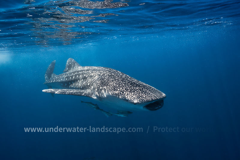 Whale shark Nosy Be-The biggest shark in the world