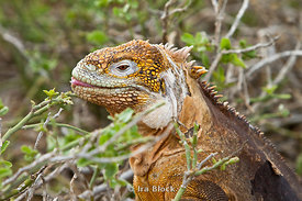 A land iguana spotted on North Seymour Island in the Galapagos takes a break for a leafy snack.