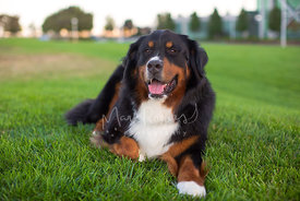 Smiling bernese mountain dog lying on green lawn