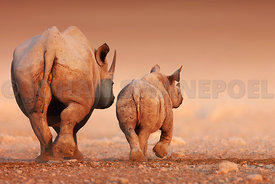 Black Rhinoceros calf and cow walking away