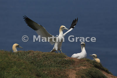 Adult Northern Gannet (Morus bassanus) about to take off, watched by others in the colony, Bempton Cliffs (RSPB), East Riding of Yorkshire, England