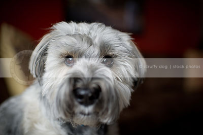 headshot of small silver dog with eyelashes at home indoors