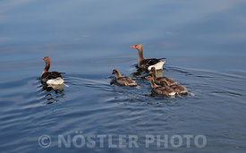 A Greylag goose family