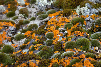 Bright orange lichen and green moss on a boulder, Tule Lake NWR, California