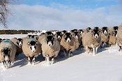 Flock of Swaledale sheep in uplnads of Cumbria in snow.