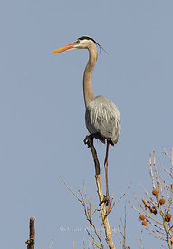 Herons, Cranes, and Egrets photos