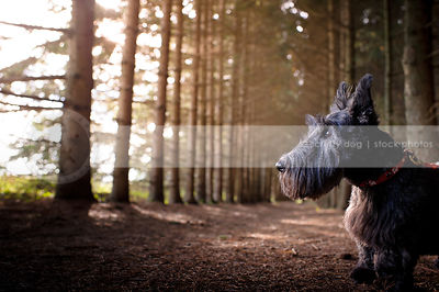 short little black dog standing in forest of pine trees