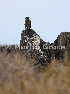 Galapagos Hawk (Buteo galapagoensis) on what is obviously a favourite perching spot, Punta Suarez, Espanola, Galapagos