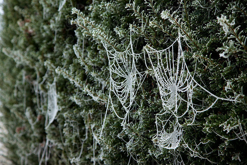 Hoar frost on cobwebs in a hedge