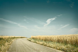 Country road in wheat field