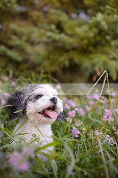small grey and white groomed dog sitting in deep flowers