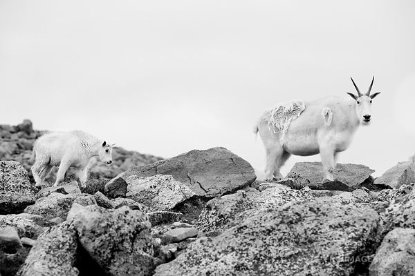 MOUNTAIN GOATS MOUNT EVANS ROAD SCENIC BYWAY ROAD COLORADO ROCKIES BLACK AND WHITE