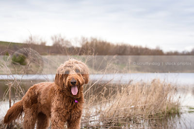 groomed red doodle dog staring from riverbank with sky