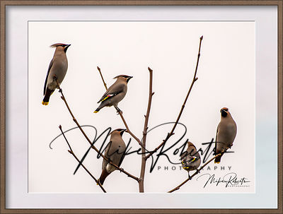 waxwing-1-2-Edit