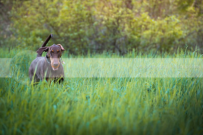 brown and tan dog with flipped ear fetching in deep meadow grasses