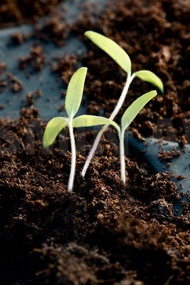 Tomato seedlings in a greenhouse ..Close up