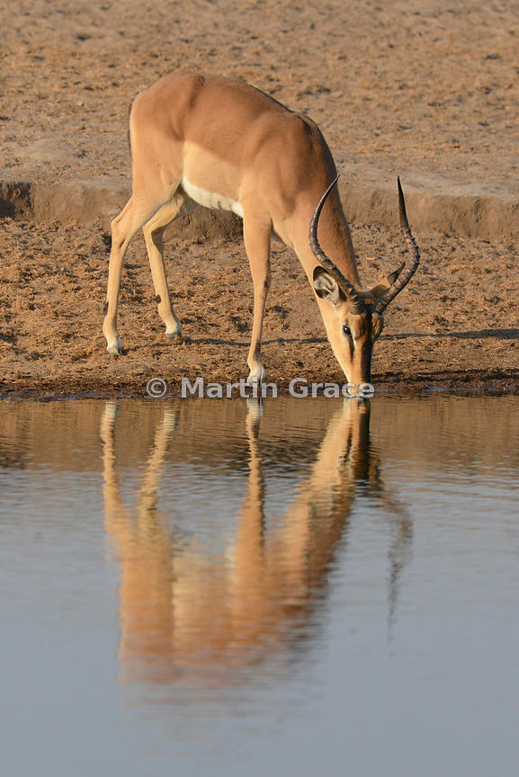 Male Black-Faced Impala (Aepyceros melampus petersi) drinking at Chudob waterhole, Etosha National Park, Namibia