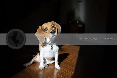 beagle dog posing in sunshine on hardwood floor indoors