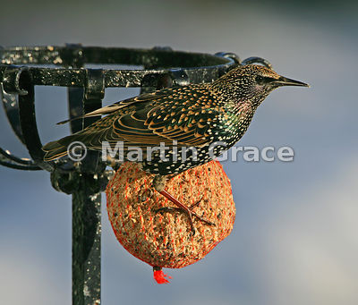 Starling (Sturnus vulgaris) perching on a fat ball in a Cumbrian garden with the sun shining on its iridescent plumage, Lyth Valley, Cumbria, England