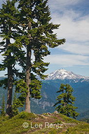 Mountain Hemlocks (Tsuga mertensiana) with Glacier Peak in the distance from Mt. Forgotten Meadows, Mt. Baker-Snoqualmie National Forest, Cascade Mountains, Washington, USA, August, 2008_WA_4599