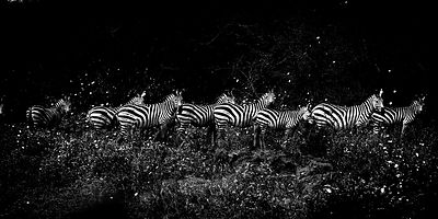 4867-Zebras_line_in_the_bush_Tanzania_2007_Laurent_Baheux