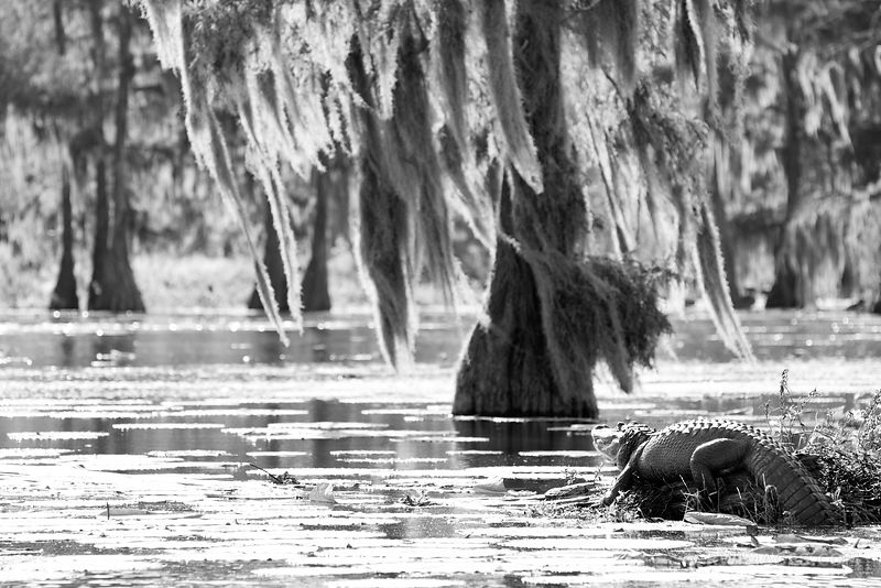 ALLIGATOR LAKE MARTIN LOUISIANA SWAMP BLACK AND WHITE