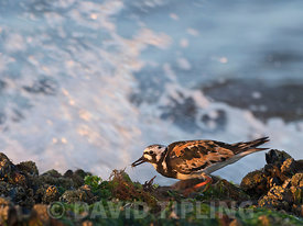 Ruddy Turnstone Arenaria interpres adult in breeding plumage with small crab on shore at Titchwell Norfolk July