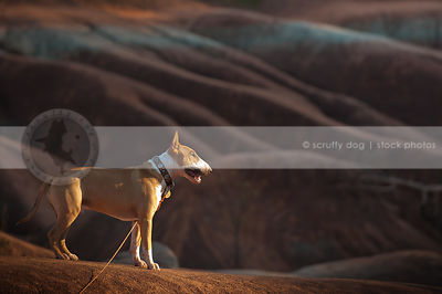 alert shorthaired dog standing alone on red clay ridge at sunset