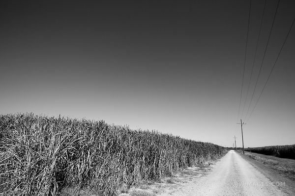 COUNTRY ROAD SUGAR CANE FIELD RURAL LOUISIANA BLACK AND WHITE