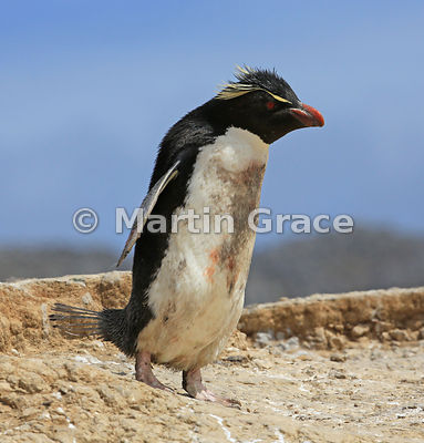 Soiled Southern Rockhopper Penguin (Eudyptes chrysocome chrysocome) heading from the colony towards the sea, Cape Coventry, Pebble Island