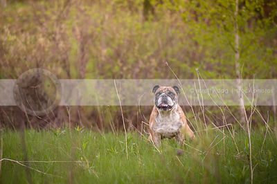 tan and white bulldog staring with anticipation in meadow