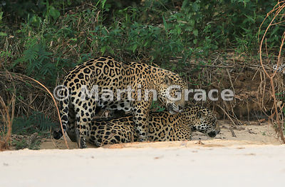 Male Jaguar 'Hero' (Panthera onca) mates with female 'Hunter', Three Brothers River, Northern Pantanal, Mato Grosso, Brazil. Image 39 of 62; elapsed time 1h 35mins