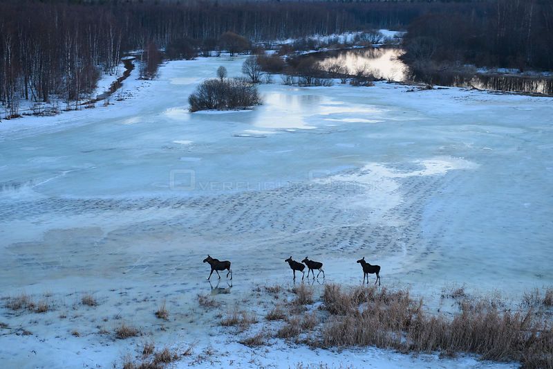 Aerial view of Moose (alces alces) on frozen river, Southern Estonia, April.
