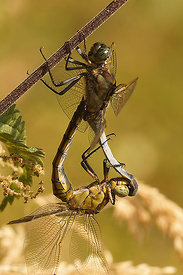 Orthetrum cancellatum, copulation at Ganzeveld, Bellem