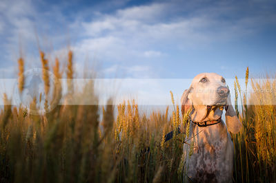 speckled white hound standing in wheat under blue sky