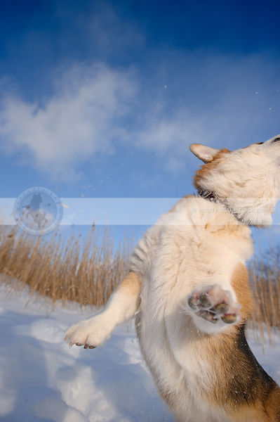 short corgi dog leaping in winter setting with snow under sky