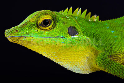 Green crested lizard (Bronchocela cristatella)  photos