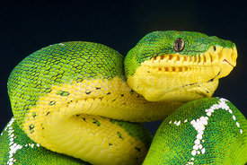Corallus batesii, Upper Amazon emerald tree boa , Peru